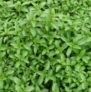 mint-pennyroyal-648-p